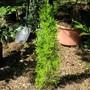Cupressus Macrocarpa 'Goldcrest'  (cupressus macrocarpa goldcrest)