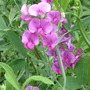 A garden flower photo (Lathyrus odoratus (Old-Fashioned Sweet Pea))
