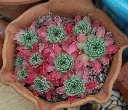 More Sempers.... (Sempervivum arachnoideum (Cobweb House-Leek))