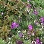 Geranium incanum (Geranium incanum var multifidum)