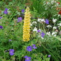 Geranium Orion with lupin