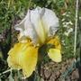 """Iris germanica """"Sur Deux Notes"""" (Iris germanica (Orris) Sur Deux Notes)"""