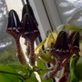 Ceropegia Denticulata - Excels itself.