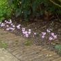 Cyclamen_hederifolium_2014