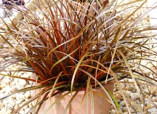 Uncinia rubra - Red Sedge