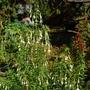 Fuchsias by the back door (Fuchsia magellanica (Hardy fuchsia))