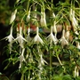 Fuchsia Hawkshead (Fuchsia magellanica (Hardy fuchsia))