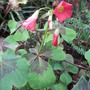Oxalis deppei  Syn tetraphylla (Oxalis deppei   Syn tetraphylla)