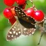 Speckled-Wood Butterfly on Berries of Viburnum opulus.