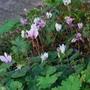 Cyclamen hederifolium.