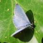 Holly Blue Butterfly.