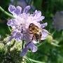 Honey Bee on Scabious