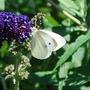 Small White on Buddleia 'Black Knight'.