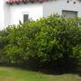 Gardenia jasminoides 'Mystery'