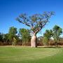 Adansonia gregorii (Adansonia gregorii (Australian Baobab))