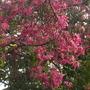 Bombax speciosa (fka: Chorisia speciosa) - Floss Silk Tree (Bombax speciosa (fka: Chorisia speciosa) - Floss Silk Tree)