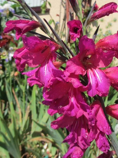 Magenta flowered Gladiolus (info for Stereogram) (Gladiolus communis (Gladiolus) Byzantinus)