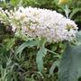 A white flowered Buddleja (Buddleja davidii (Butterfly bush))