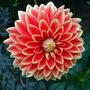 """Dahlia """" Garden Festival """""""