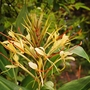 Hedychium gardnerianum (Hedychium gardnerianum (Ginger Lily))
