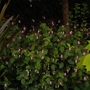 Impatiens balfourii (Impatiens balfourii (Kashmir Balsam))