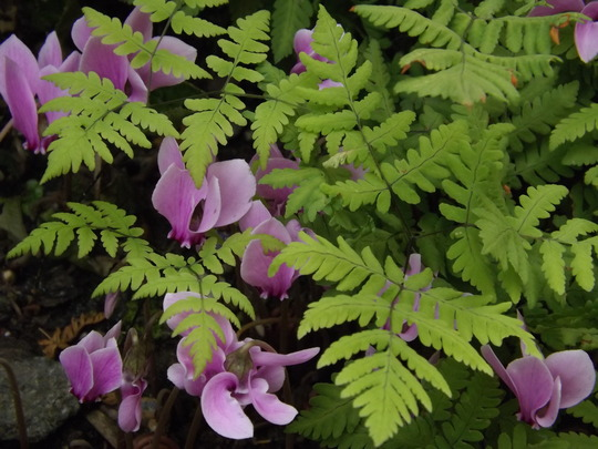 Cyclamen hederfolium mingling with some deciduous fern (Cyclamen hederefolium)