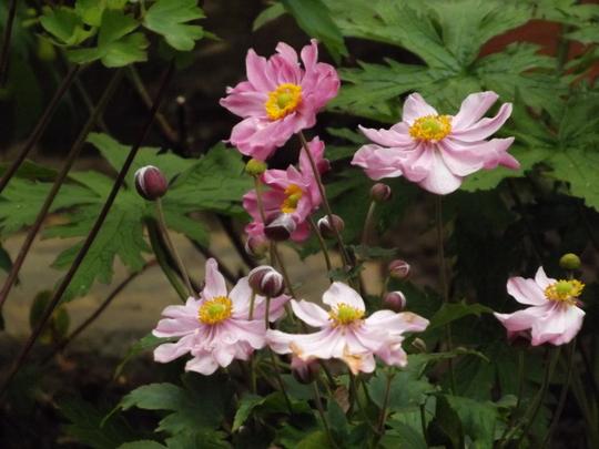 Anemone Pocahontus (Anemone x hybrida)