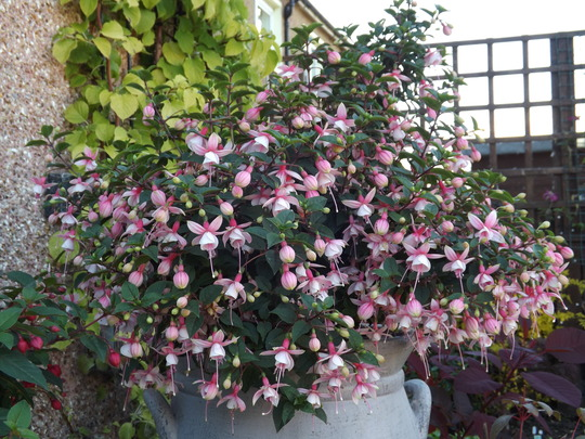 Unnamed Fuchsia (Fuchsia)