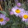 Erigeron flowering again. (Erigeron speciosus)