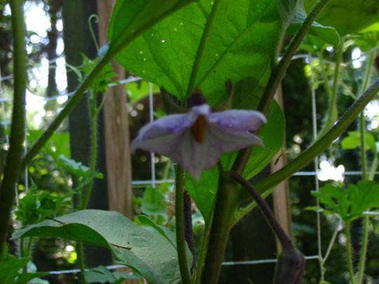 Eggplant blossom (Solanum melongena (Aubergine) Iciban)