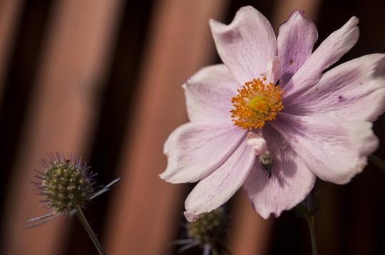 Anemone hupehensis (Anemone hupehensis (Japanese anemone))