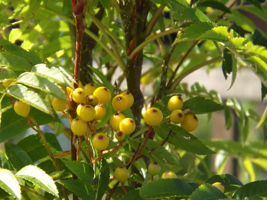Rowan Berries  (Sorbus)