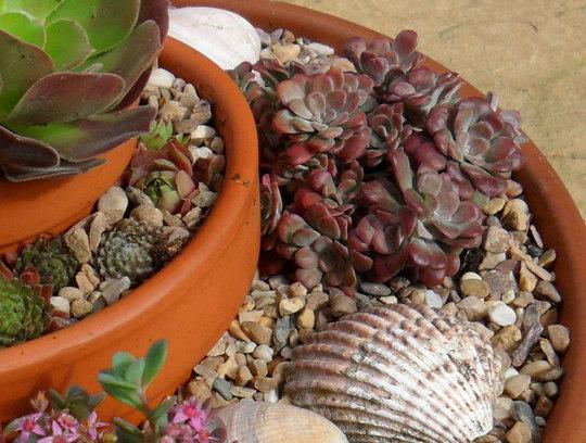 Sedum spathulifolium 'Purpureum'  (Sedum spathulifolium 'Purpureum')