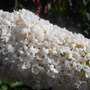 Buddleja White Bouquet (Buddleja davidii (Butterfly bush))