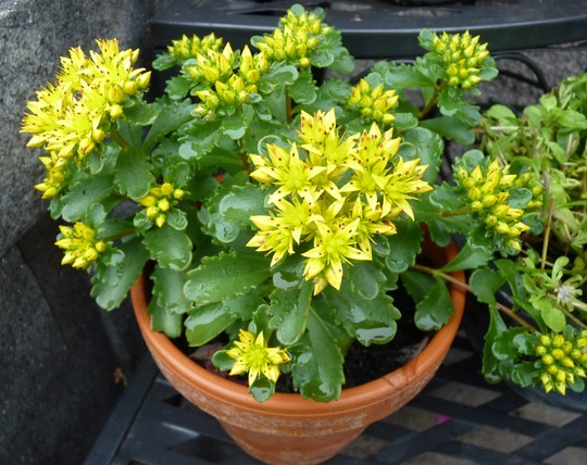 Sedum 'Immergrun' (Sedum kamtschaticum (Stonecrop))