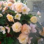Trailing Begonia Peach coloured