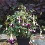 Fuchsia Velvet Crush (Fuchsia)