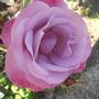Moody Blue (Rosa)
