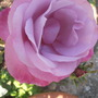 Rose Moody Blue (rosa)