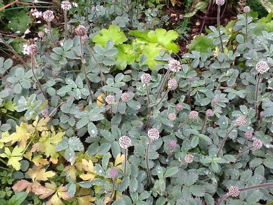 "Glaucous Acaena  (Acaena microphylla (New Zealand burr) ""Blue Haze"")"