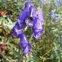 Aconitum napellus 'Blue Valley' (Aconitum napellus)