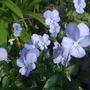 Viola cornuta 'Grovemount Blue' (Viola cornuta)