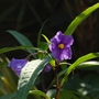 Solanum laciniatum (Kangaroo Apple)