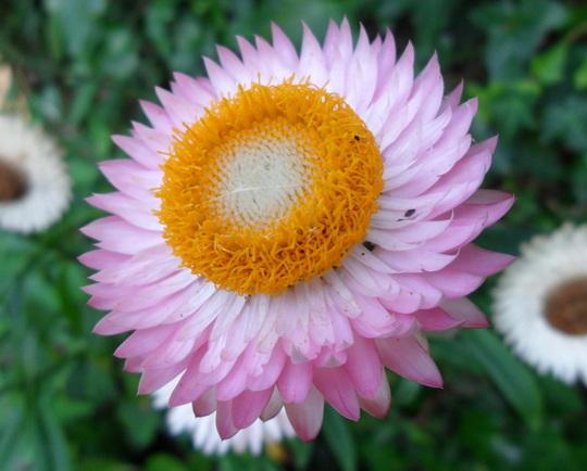 Helichrysum bracteatum  (Helichrysum bracteatum)