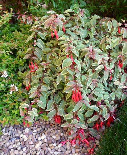 Fuchsia 'Tom West' (Fuchsia 'Tom West')