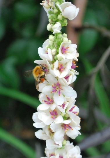 Bee on Verbascum chaixii Album. (Verbascum chaixii (Nettle-leafed mullein))