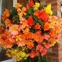 Begonia Amber Shades