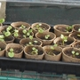 Pansy plantlets from seed.