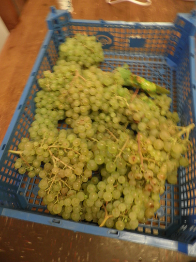 First grapes off the vine