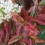 Centranthus ruber (Red valerian) White Form